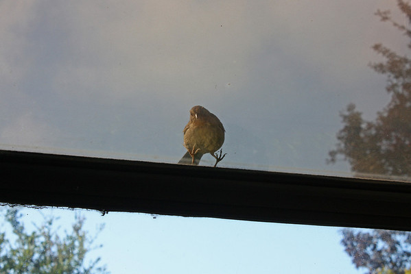 Towhee looking in through window