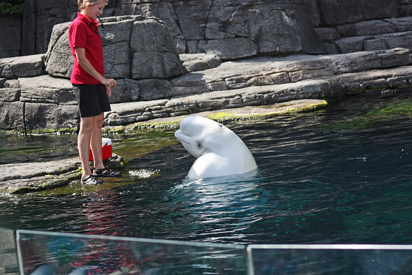 Beluga show, Vancouver Aquarium