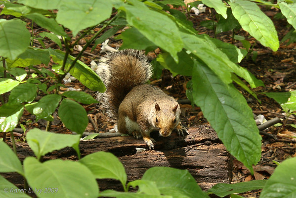 Squirrel, Central Park