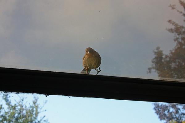 Towhee looking in through window