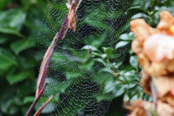 Spiderweb with water - and spider!