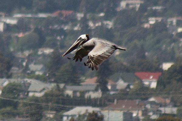 An urban pelican