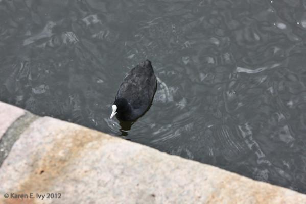Water hen