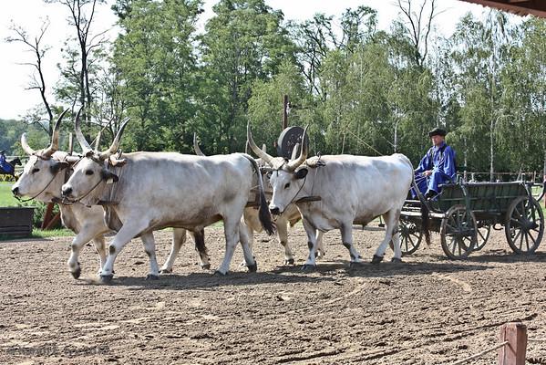Ox drawn wagon